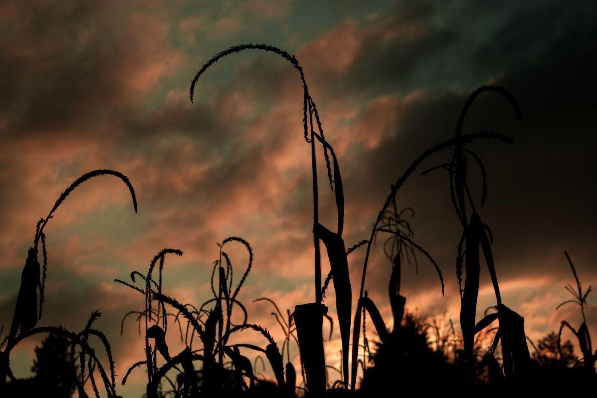 Esperando por el maíz