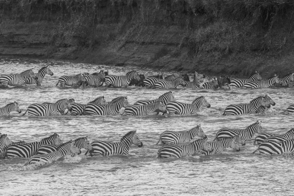 The Great Migration: Crossing Mara River